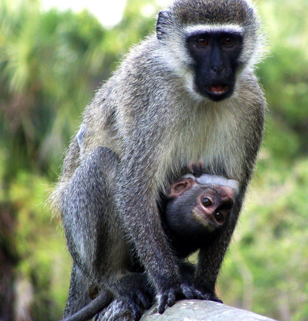 Vervet monkey, baby Vervet monkey